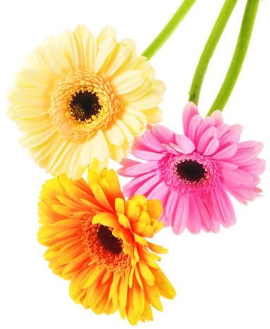 Yellow Orange pink Gerberas